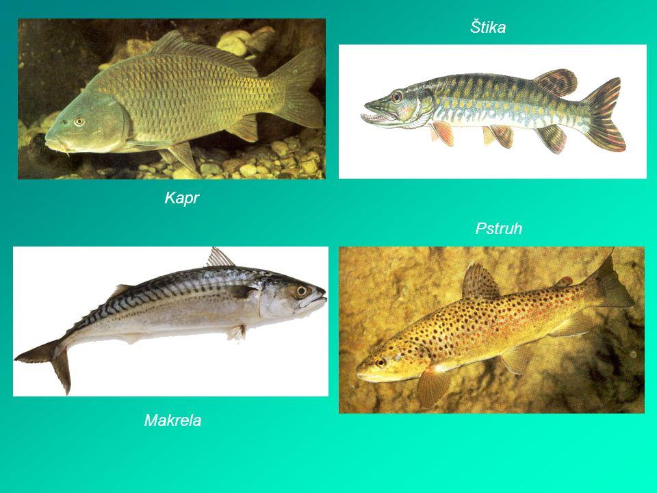 Obojživelníci - žijí ve vodě i na souši - patří sem žáby trup hlava krk přední končetiny zadní končetiny - jsou velmi dobře vyvinuté pro plavání a skákání