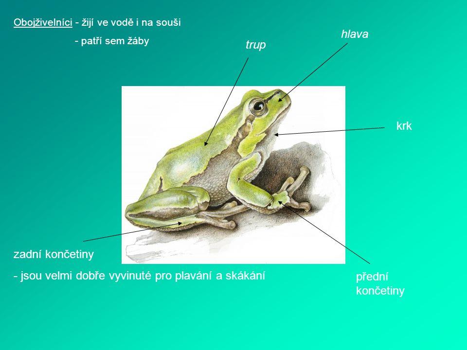 Obojživelníci - žijí ve vodě i na souši - patří sem žáby trup hlava krk přední končetiny zadní končetiny - jsou velmi dobře vyvinuté pro plavání a ská