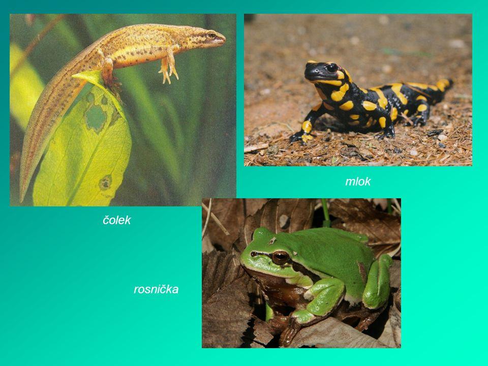 Plazi - mají tělo pokryté šupinami - žijí na souši i ve vodě - patří sem hadi, želvy, ještěrky, krokodýli hlava krk trup ocas