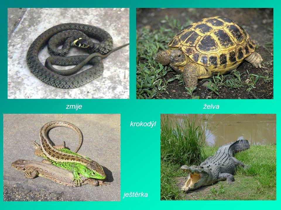 zmiježelva krokodýl ještěrka