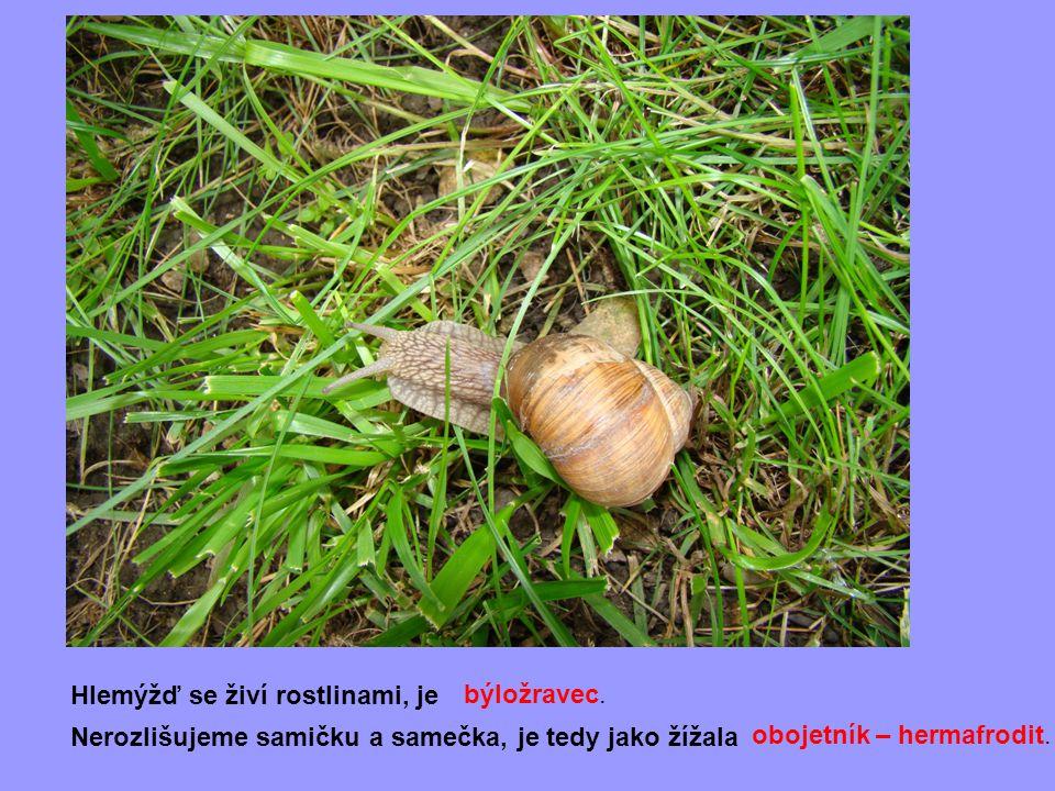 Hlemýžď se živí rostlinami, je Nerozlišujeme samičku a samečka, je tedy jako žížala obojetník – hermafrodit. býložravec.