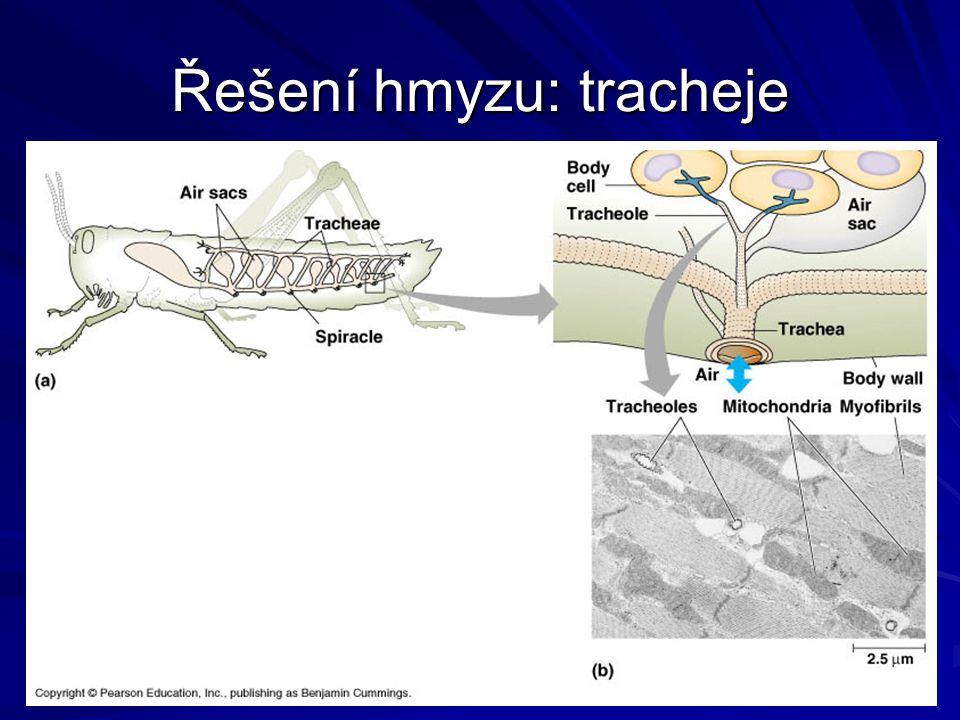 Řešení hmyzu: tracheje