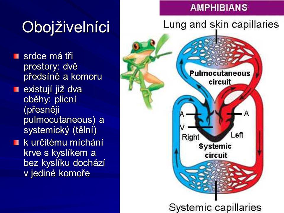 Obojživelníci srdce má tři prostory: dvě předsíně a komoru existují již dva oběhy: plicní (přesněji pulmocutaneous) a systemický (tělní) k určitému mí