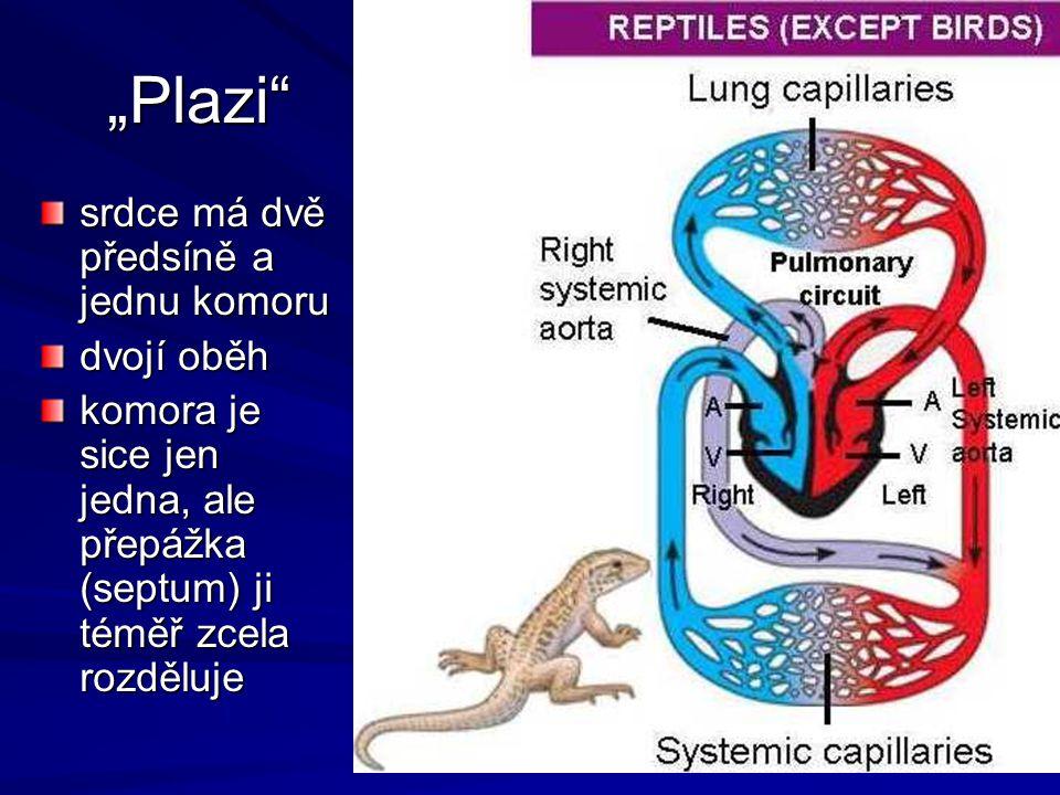 """""""Plazi"""" srdce má dvě předsíně a jednu komoru dvojí oběh komora je sice jen jedna, ale přepážka (septum) ji téměř zcela rozděluje"""