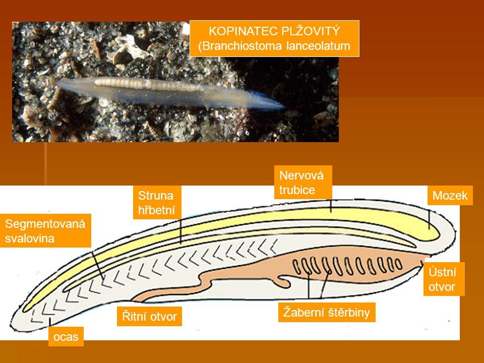 Segmentovaná svalovina Struna hřbetní Nervová trubice Mozek Žaberní štěrbiny Ústní otvor Řitní otvor ocas KOPINATEC PLŽOVITÝ (Branchiostoma lanceolatu