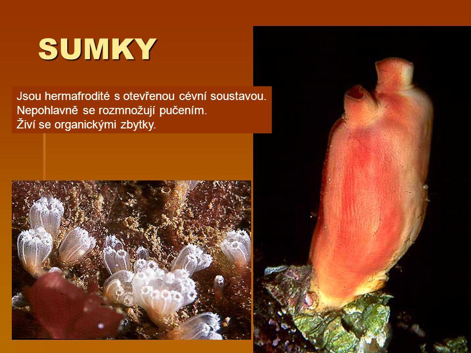 SUMKY SUMKY Jsou hermafrodité s otevřenou cévní soustavou. Nepohlavně se rozmnožují pučením. Živí se organickými zbytky.