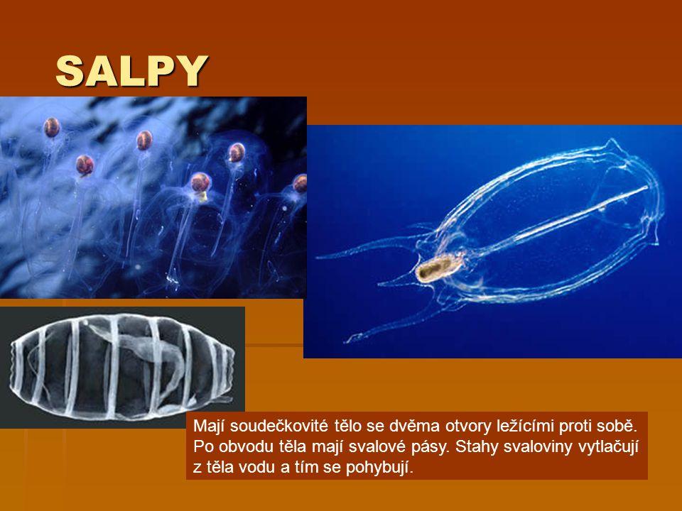 SALPY SALPY Mají soudečkovité tělo se dvěma otvory ležícími proti sobě. Po obvodu těla mají svalové pásy. Stahy svaloviny vytlačují z těla vodu a tím