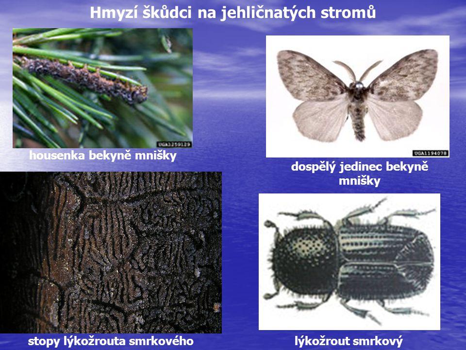 housenka bekyně mnišky dospělý jedinec bekyně mnišky stopy lýkožrouta smrkovéholýkožrout smrkový Hmyzí škůdci na jehličnatých stromů