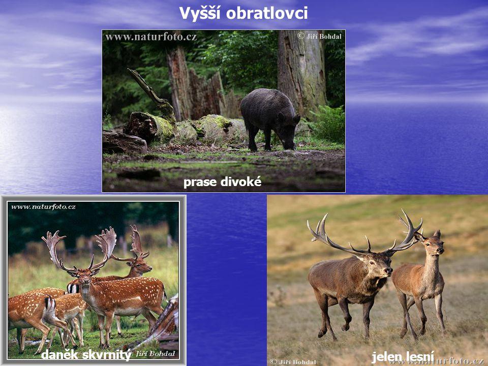 jelen lesní prase divoké daněk skvrnitý Vyšší obratlovci