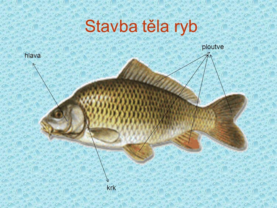 hlava ploutve krk Stavba těla ryb