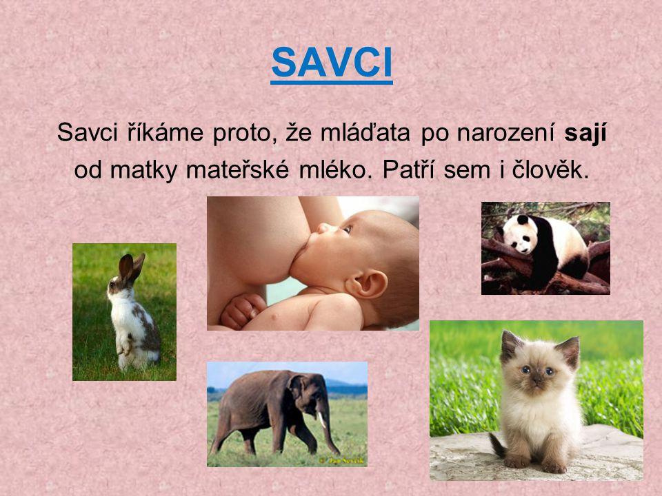 SAVCI Savci říkáme proto, že mláďata po narození sají od matky mateřské mléko. Patří sem i člověk.