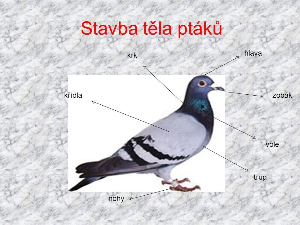 Stavba těla ptáků hlava zobák vole trup nohy krk křídla