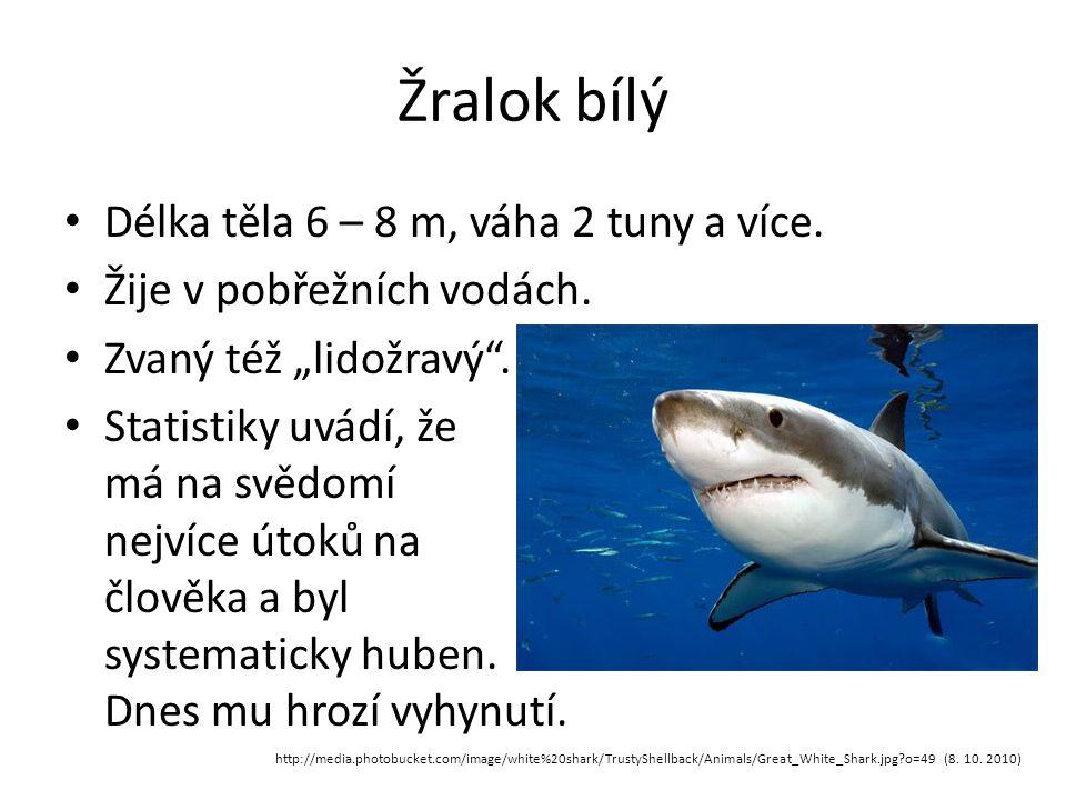 """Žralok bílý Délka těla 6 – 8 m, váha 2 tuny a více. Žije v pobřežních vodách. Zvaný též """"lidožravý"""". Statistiky uvádí, že má na svědomí nejvíce útoků"""