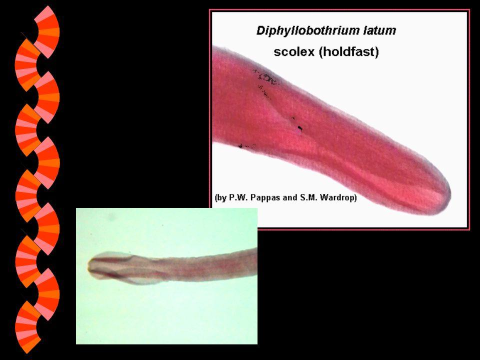 škulovec široký (Diphyllobothrium latum) w Velikost: 10 – 17 m w Rozšíření: polární a mírné pásmo severní polokoule (zejméná oblasti s konzumací syrových ryb) w Vývojový cyklus všech škulovců probíhá ve třech různých hostitelích: korýši, rybě a rybožravém obratlovci.