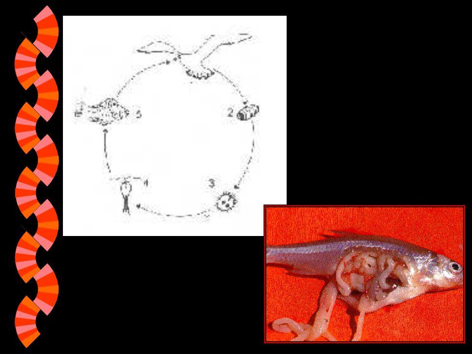 řemenatka ptačí (Linula intestinalis) w Velikost: 15 cm, larvy větší w Rozšíření: palearktická oblast w Řemenatka ptačí má stejné mezihostitele jako š