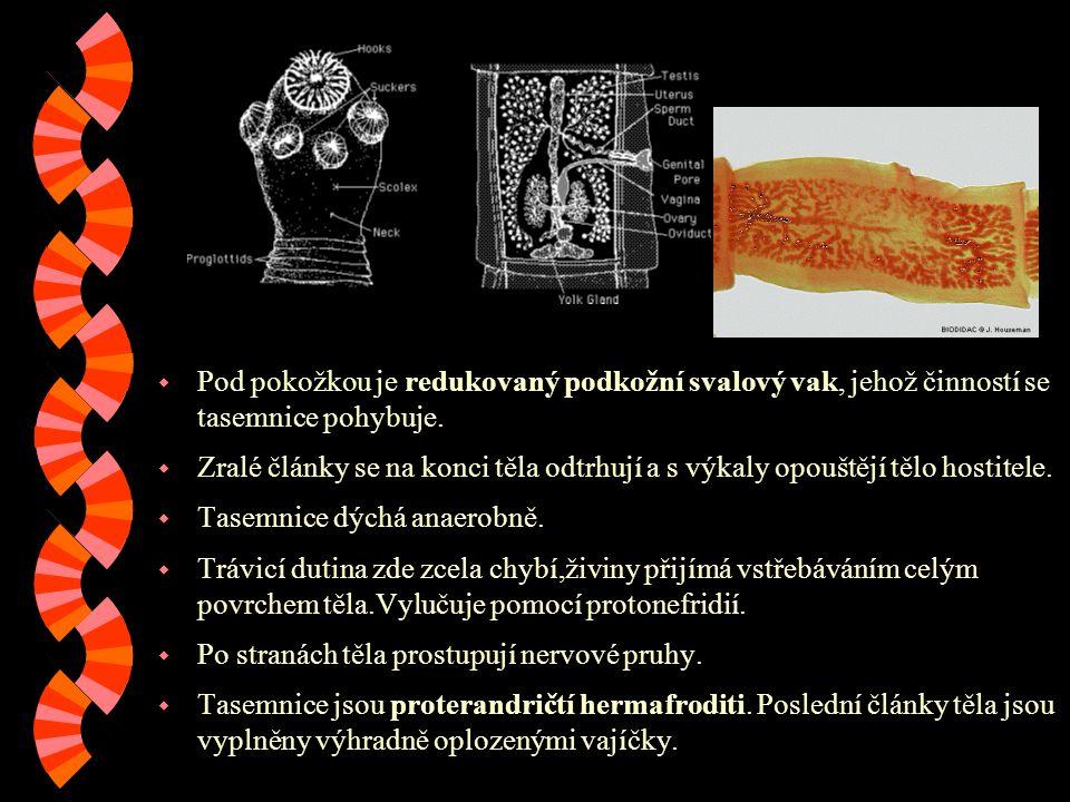 w Pod pokožkou je redukovaný podkožní svalový vak, jehož činností se tasemnice pohybuje.
