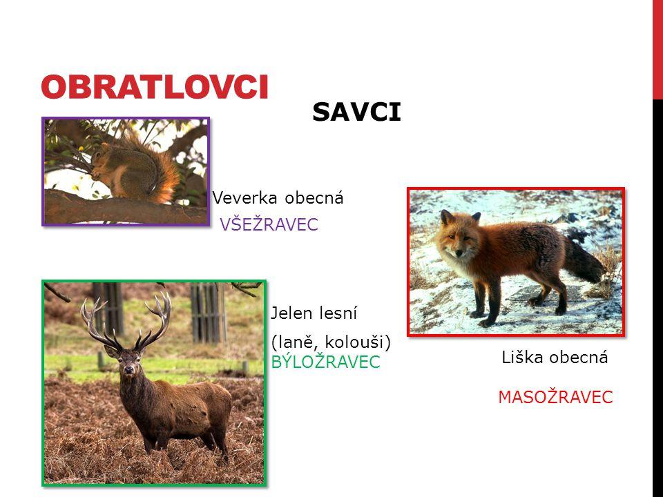 OBRATLOVCI Veverka obecná Jelen lesní Liška obecná MASOŽRAVEC SAVCI (laně, kolouši) BÝLOŽRAVEC VŠEŽRAVEC