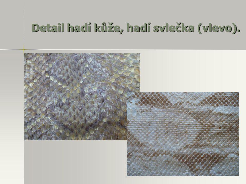 Detail hadí kůže, hadí svlečka (vlevo).
