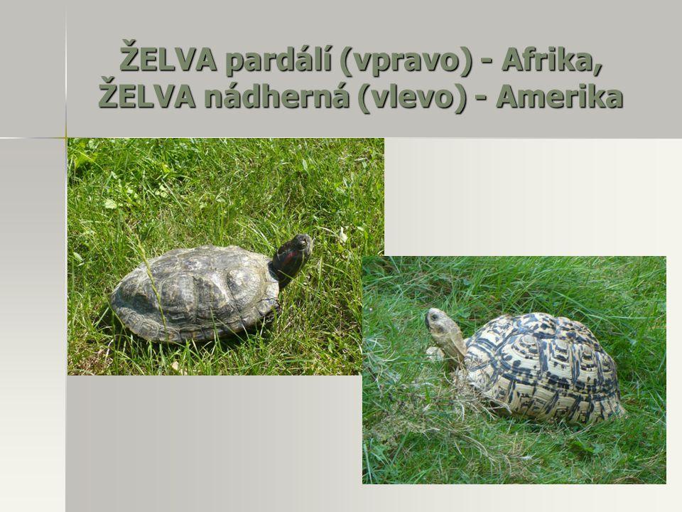 ŽELVA pardálí (vpravo) - Afrika, ŽELVA nádherná (vlevo) - Amerika