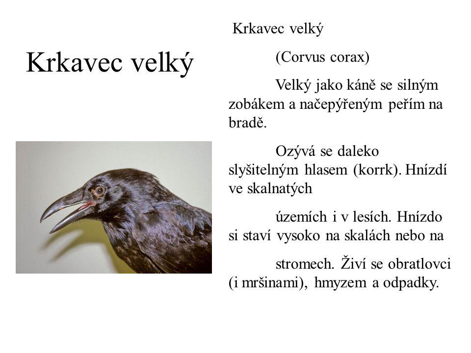 Krkavec velký (Corvus corax) Velký jako káně se silným zobákem a načepýřeným peřím na bradě. Ozývá se daleko slyšitelným hlasem (korrk). Hnízdí ve ska
