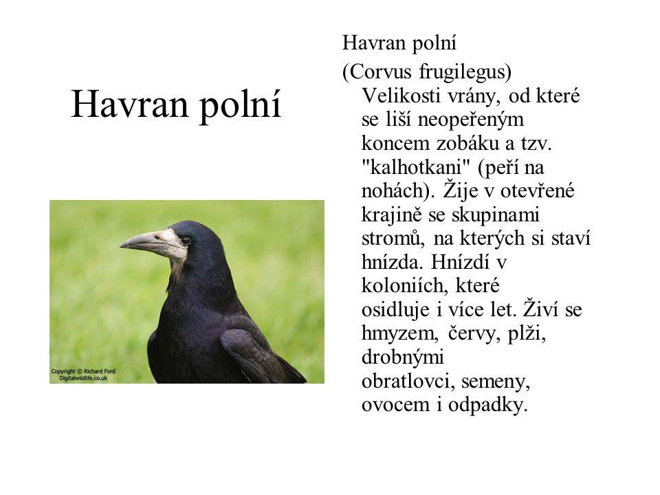 Havran polní (Corvus frugilegus) Velikosti vrány, od které se liší neopeřeným koncem zobáku a tzv.