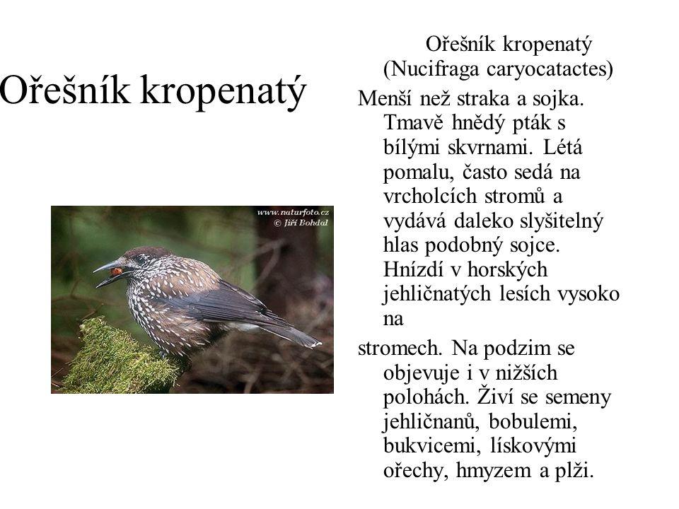 Ořešník kropenatý Ořešník kropenatý (Nucifraga caryocatactes) Menší než straka a sojka. Tmavě hnědý pták s bílými skvrnami. Létá pomalu, často sedá na