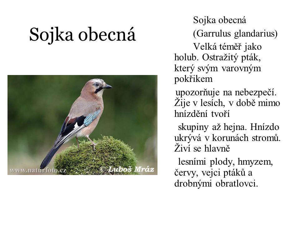Sojka obecná Sojka obecná (Garrulus glandarius) Velká téměř jako holub. Ostražitý pták, který svým varovným pokřikem upozorňuje na nebezpečí. Žije v l