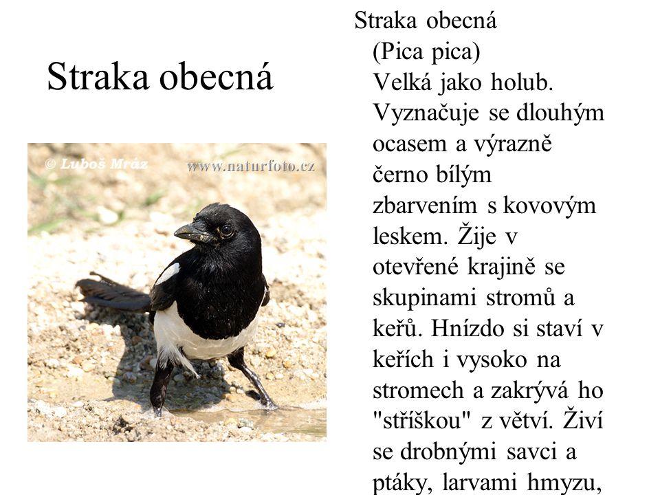Straka obecná Straka obecná (Pica pica) Velká jako holub. Vyznačuje se dlouhým ocasem a výrazně černo bílým zbarvením s kovovým leskem. Žije v otevřen