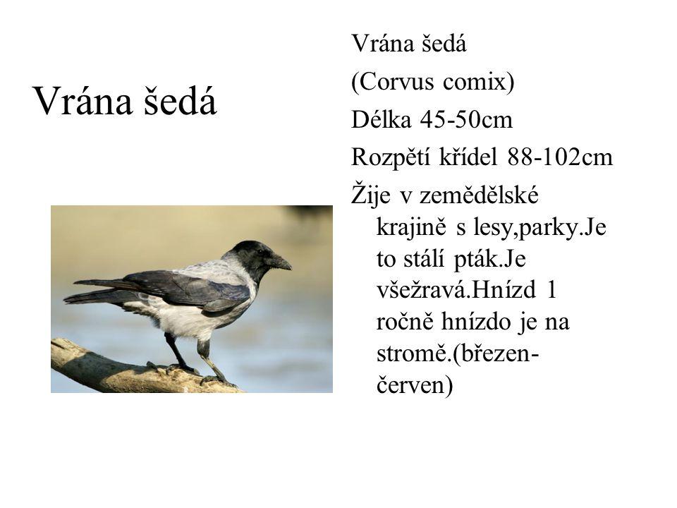 Vrána šedá (Corvus comix) Délka 45-50cm Rozpětí křídel 88-102cm Žije v zemědělské krajině s lesy,parky.Je to stálí pták.Je všežravá.Hnízd 1 ročně hníz