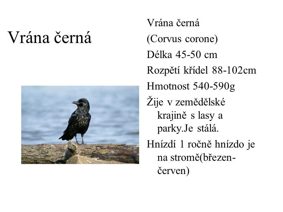 Vrána černá (Corvus corone) Délka 45-50 cm Rozpětí křídel 88-102cm Hmotnost 540-590g Žije v zemědělské krajině s lasy a parky.Je stálá. Hnízdí 1 ročně