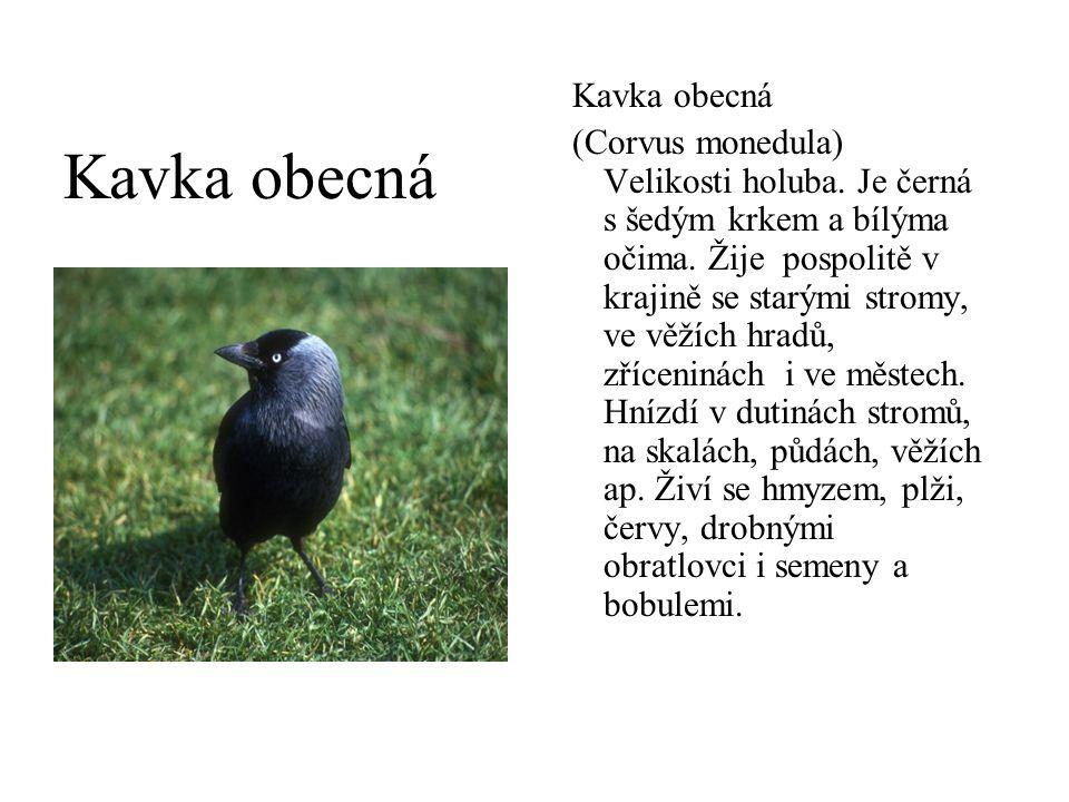 Kavka obecná (Corvus monedula) Velikosti holuba. Je černá s šedým krkem a bílýma očima. Žije pospolitě v krajině se starými stromy, ve věžích hradů, z