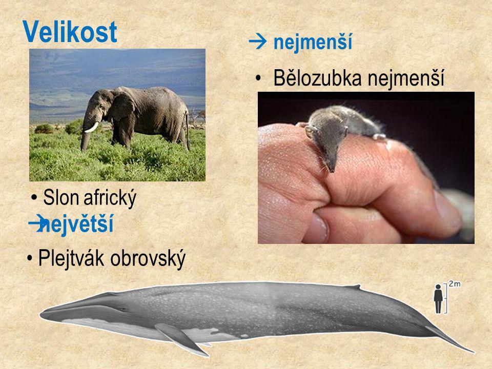 Velikost  nejmenší Bělozubka nejmenší  největší Plejtvák obrovský Slon africký