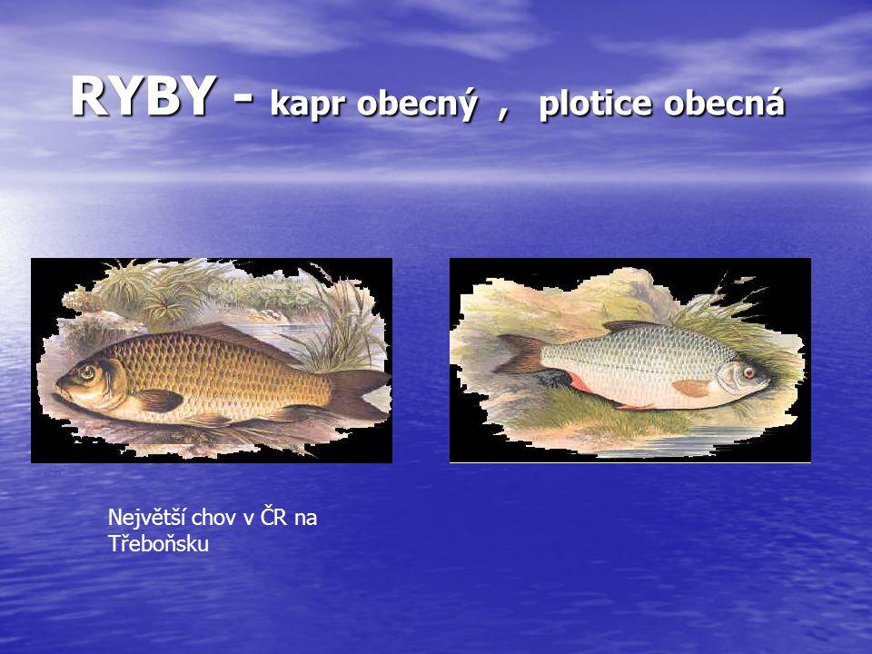 RYBY - kapr obecný, plotice obecná RYBY - kapr obecný, plotice obecná Největší chov v ČR na Třeboňsku