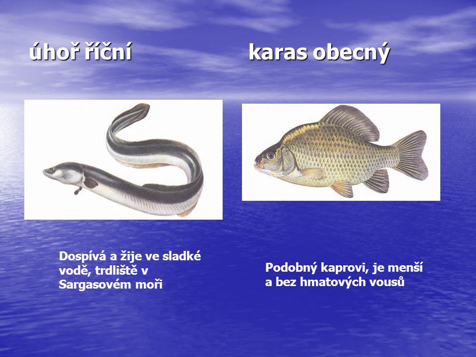 úhoř říční karas obecný Dospívá a žije ve sladké vodě, trdliště v Sargasovém moři Podobný kaprovi, je menší a bez hmatových vousů