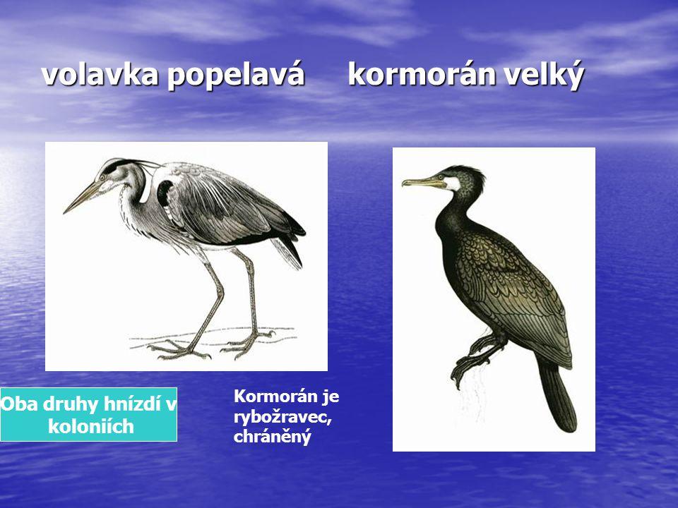 volavka popelavá kormorán velký Kormorán je rybožravec, chráněný Oba druhy hnízdí v koloniích