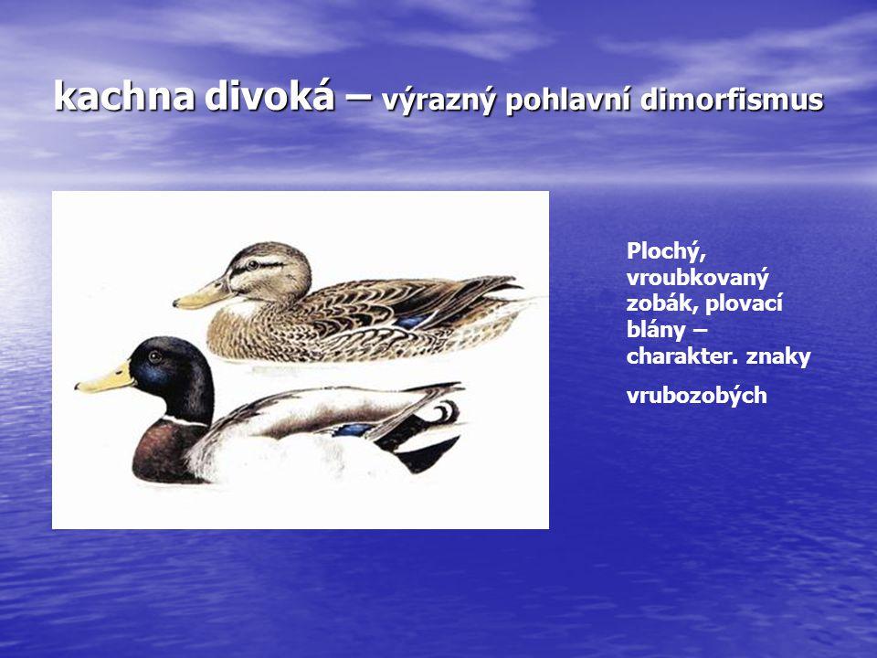 kachna divoká – výrazný pohlavní dimorfismus Plochý, vroubkovaný zobák, plovací blány – charakter. znaky vrubozobých