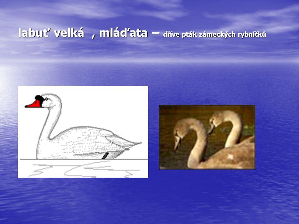 labuť velká, mláďata – dříve pták zámeckých rybníčků