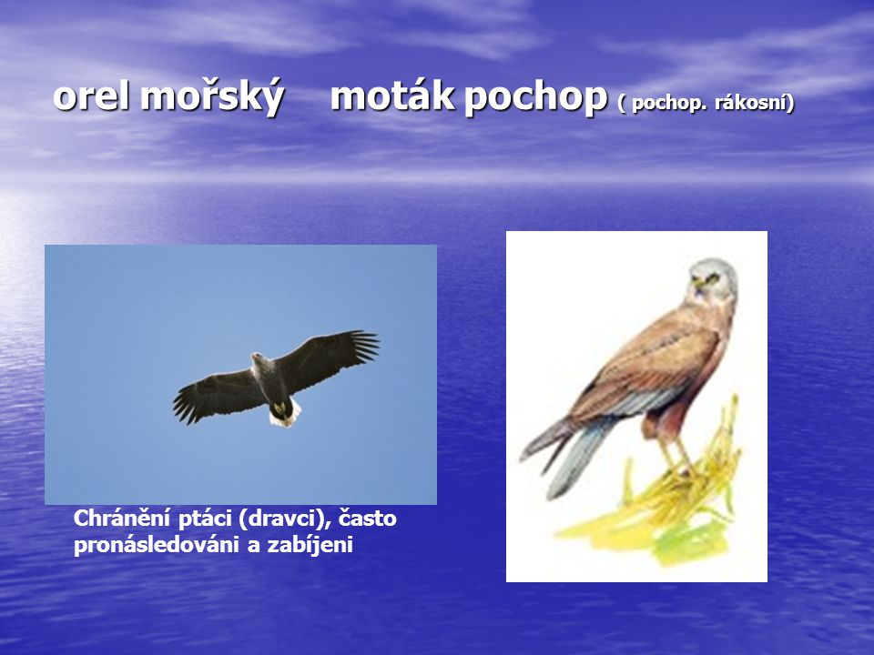 orel mořský moták pochop ( pochop. rákosní) Chránění ptáci (dravci), často pronásledováni a zabíjeni