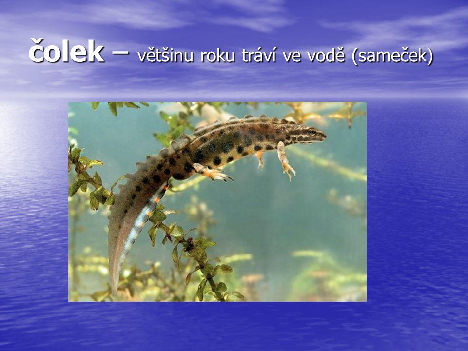 čolek – většinu roku tráví ve vodě (sameček)