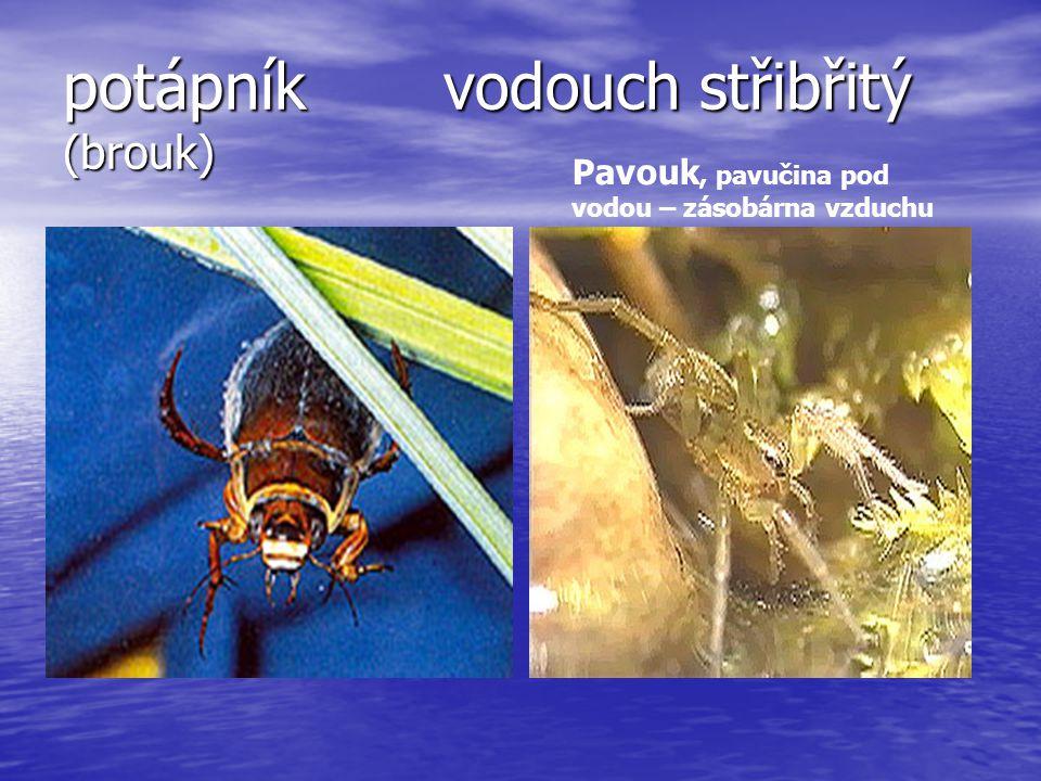 potápník vodouch střibřitý (brouk) Pavouk, pavučina pod vodou – zásobárna vzduchu