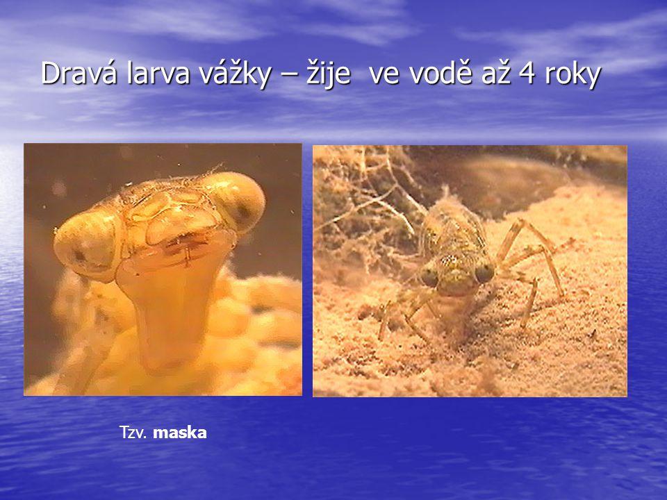 Dravá larva vážky – žije ve vodě až 4 roky Tzv. maska