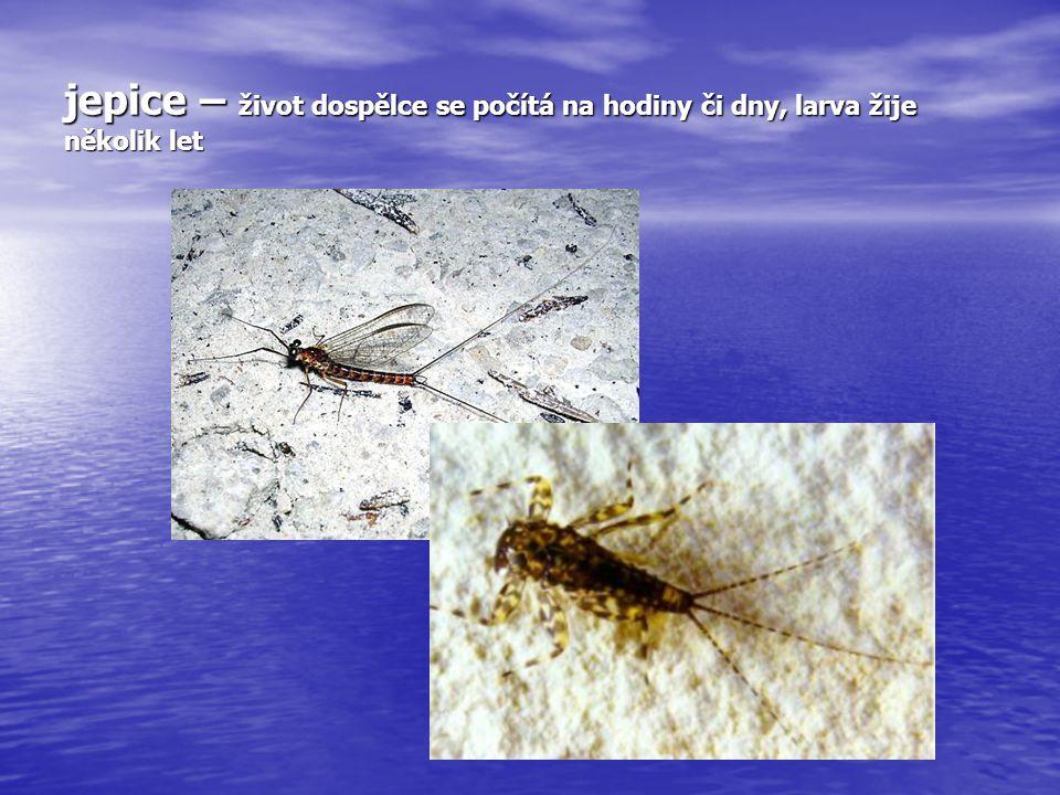 Larva chrostíka – častěji v čistých potocích
