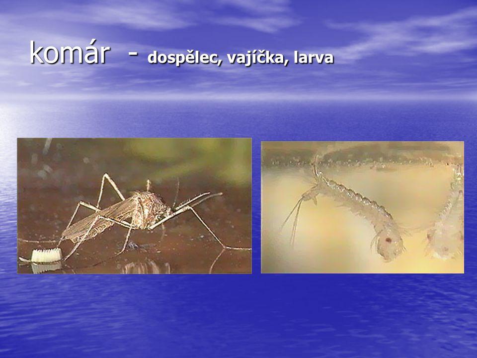 komár - dospělec, vajíčka, larva