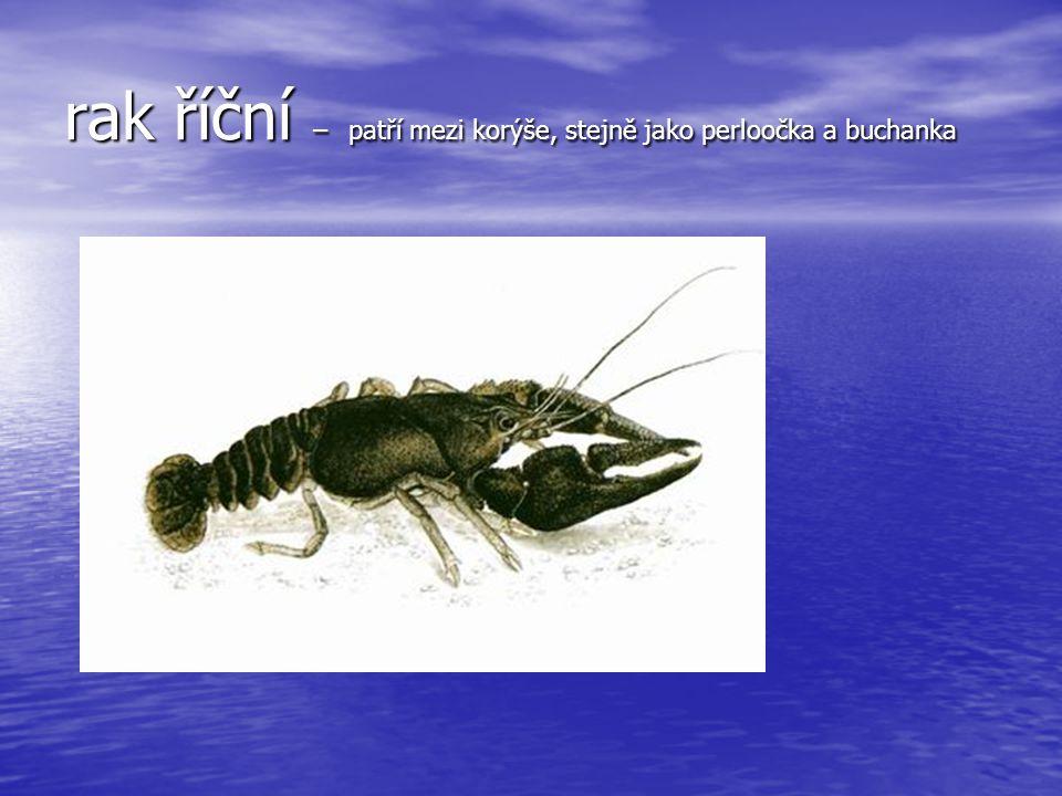 škeble rybničná – vodní měkkýš, mlž, s tenkou lasturou