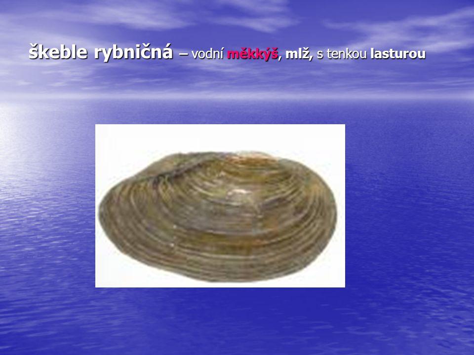 bahenka živorodá plovatka bahenní Mají 1 schránku, ulitu, patří mezi měkkýše - plže Hodně kroucená ulita