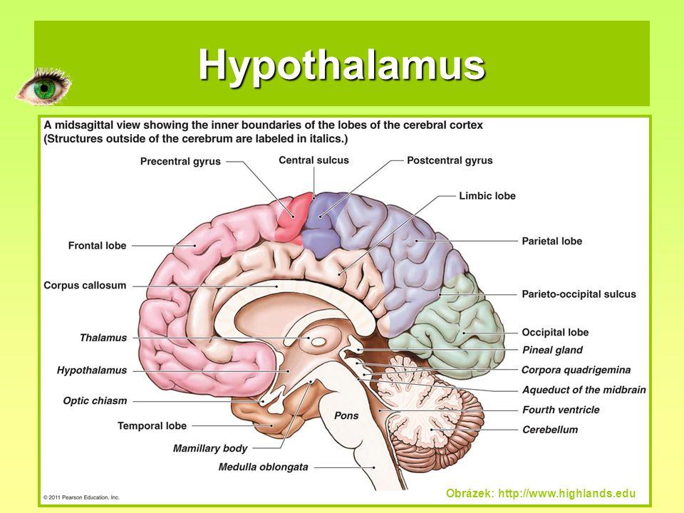 Hypothalamus Obrázek: http://www.highlands.edu