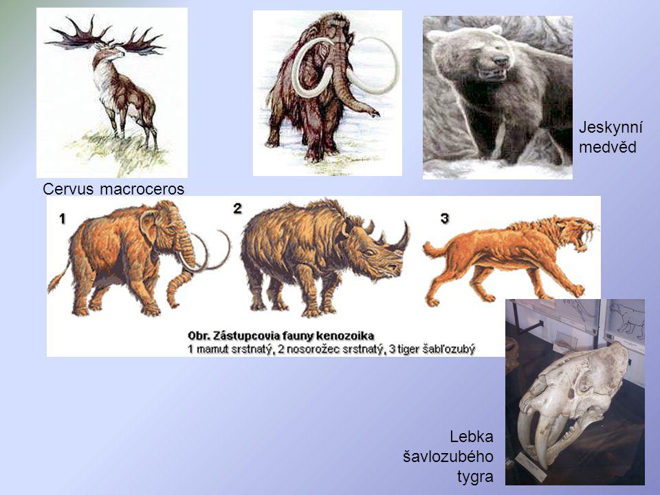 Lebka šavlozubého tygra Jeskynní medvěd Cervus macroceros
