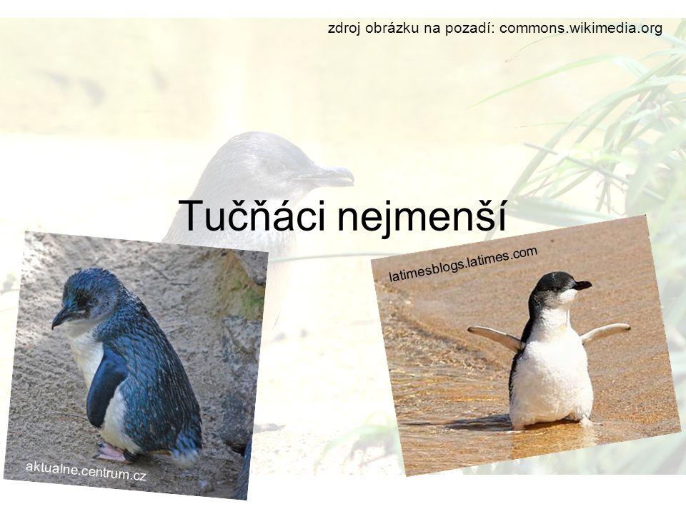 obecně Žijí v Austrálii a na Novém Zélandu Měří kolem 40cm Váží 1-1,5kg Je to nejmenší žijící druh tučňáků Je to převážně noční tučňák, přes den spí, nebo je na lovu Živí se rybami a hlavonožci Je mírně do modra Žije průměrně 6,5let