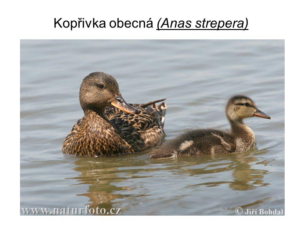 Kopřivka obecná (Anas strepera)