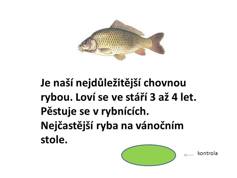 Je naší nejdůležitější chovnou rybou. Loví se ve stáří 3 až 4 let.